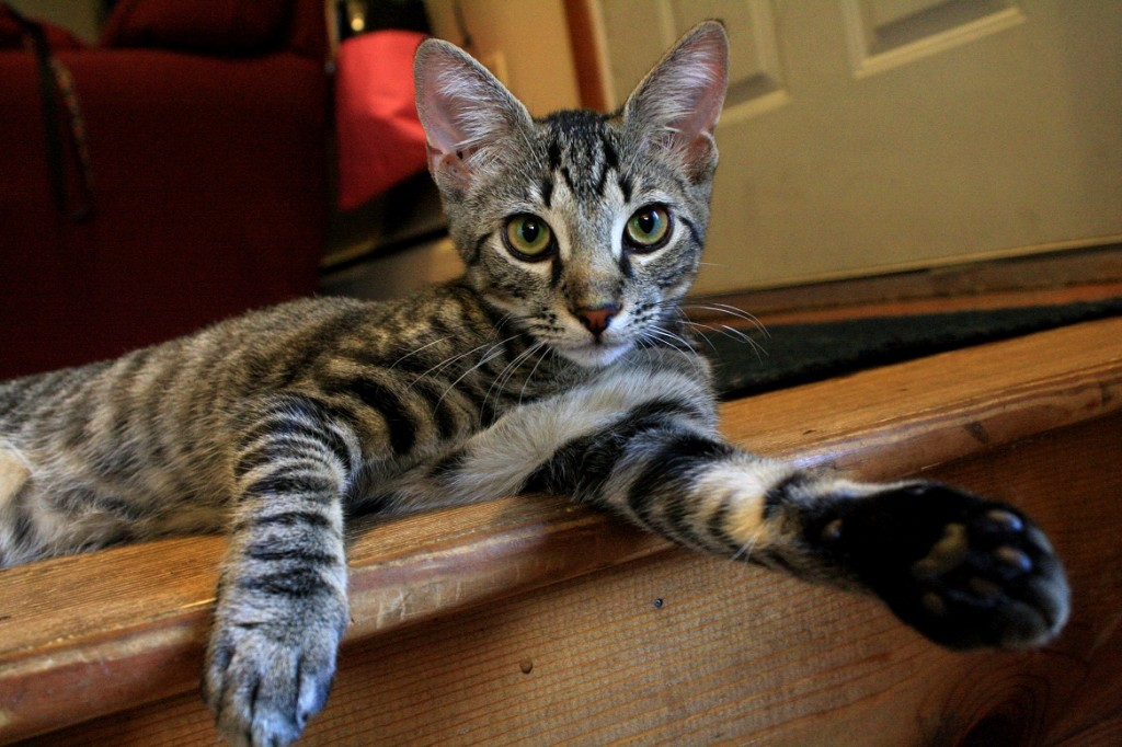 tiger cat laying on stairs with paw sticking out