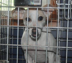 jack russell in crate