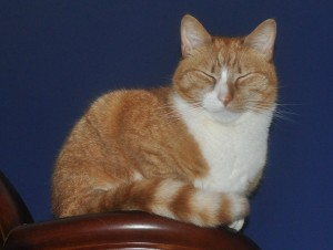 squinting orange cat
