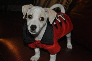 jack russell puppy wearing a parka