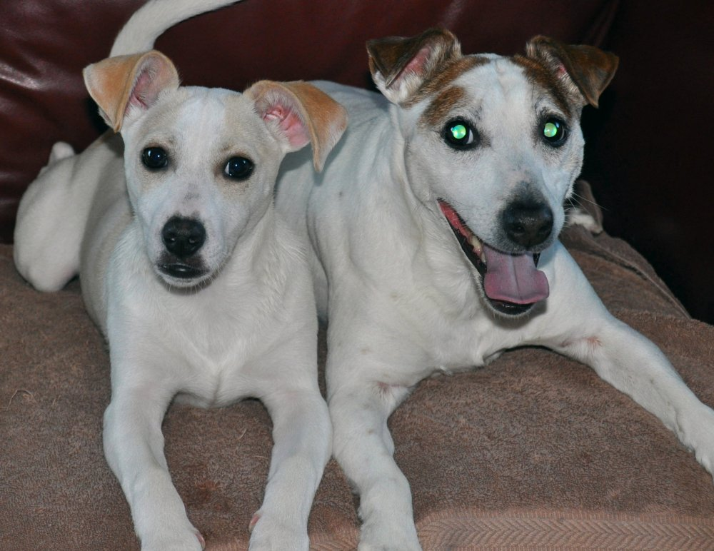 two jack russells
