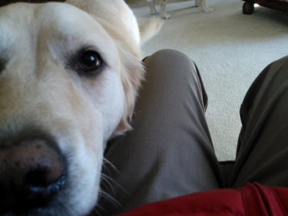 golden retriever head in lap