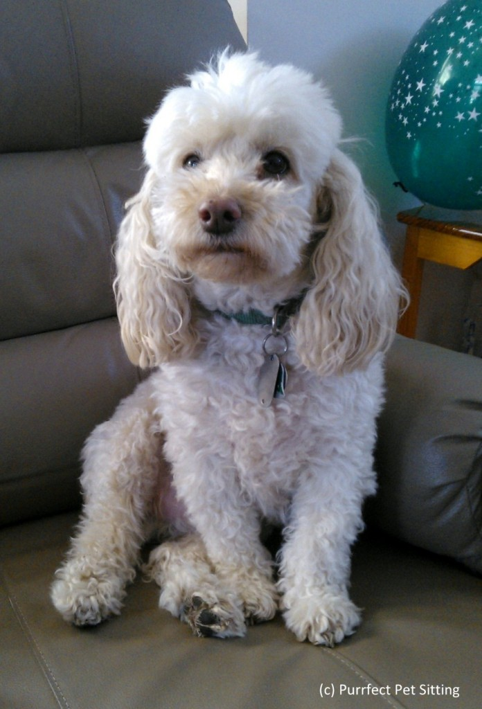 white poodle sitting on chair