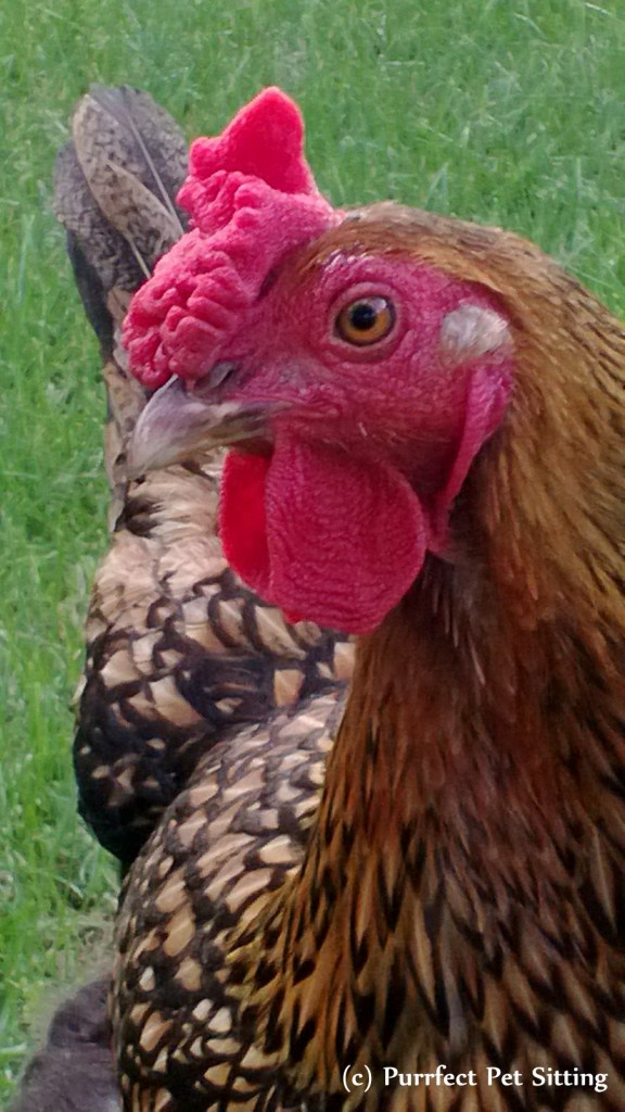 golden laced wyandotte chicken