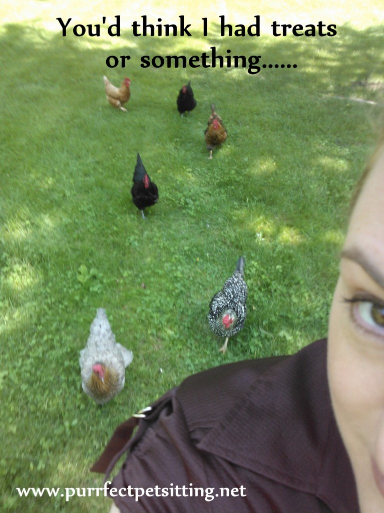 chickens following woman