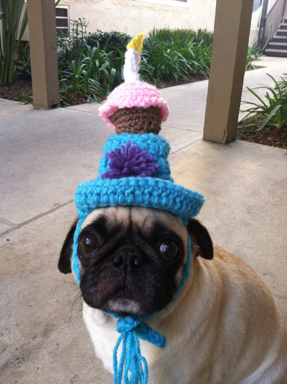 pug with birthday hat
