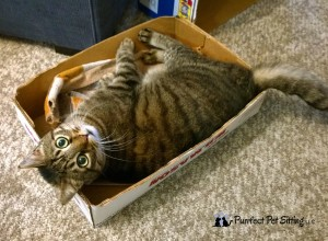 tiger cat in box
